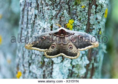 GIANT PEACOCK MOTH - GRAN PAVON o PAVON NOCTURNO (Saturnia pyri), also called the great peacock moth, giant emperor moth, or Viennese emperor, Sierra - Stock Photo