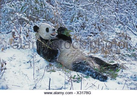GIANT PANDA ailuropoda melanoleuca, WOLONG RESERVE IN SICHUAN PROVINCE, CHINA - Stock Photo