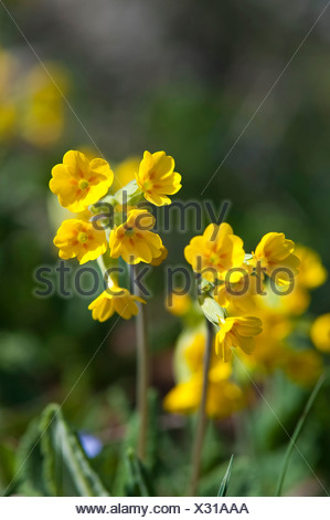 Primroses (Primula officinalis), National Park Northern Velebit, Lika-Senj County, Croatia, Europe - Stock Photo
