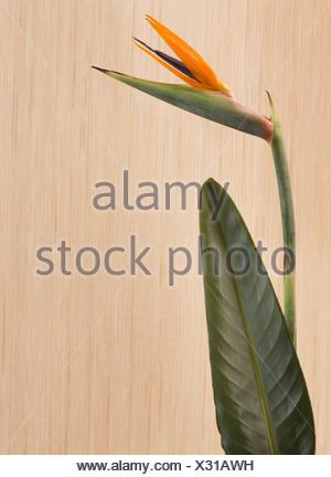 Bird of paradise flower (Strelitzia reginae) - Stock Photo