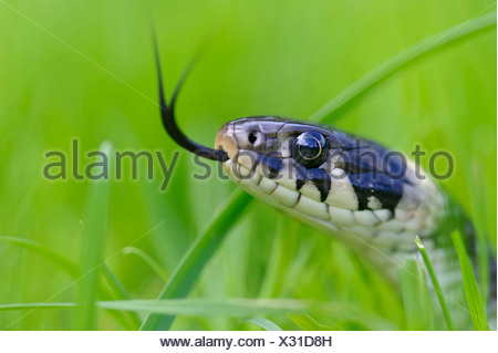 grass snake, natrix natrix, goldenstedter moor, lower saxony, germany - Stock Photo