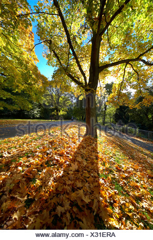 Large tree with autumnal leaves on the ground - Stock Photo