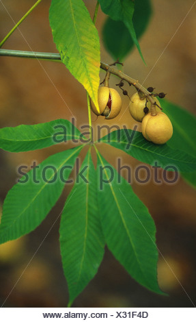 yellow buckeye (Aesculus flava, Aesculus octandra), fruits and leaves at a tree - Stock Photo