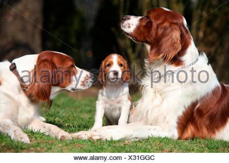 Irish Red and White Setter, dog family, Austria - Stock Photo