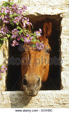 Hanoverian - portrait - Stock Photo