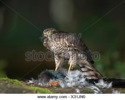 Sparrowhawk (Accipiter nisus), Bitburg, Rhineland-Palatinate - Stock Photo