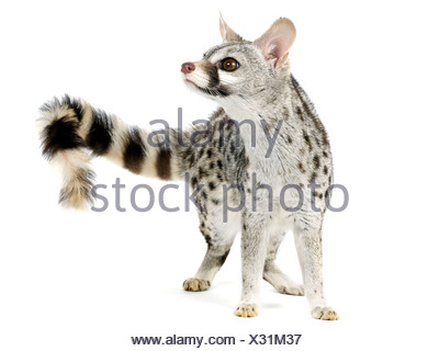 A genet from the family viverridae, related to the civet. - Stock Photo