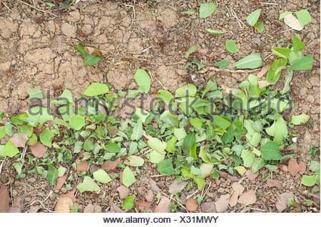 Leaf Cutter Ants Atta Hymenoptera formicidae Panama - Stock Photo