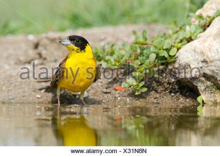 Black-headed Bunting (Emberiza melanocephala) beside a pond, Rhodopes, Bulgaria - Stock Photo