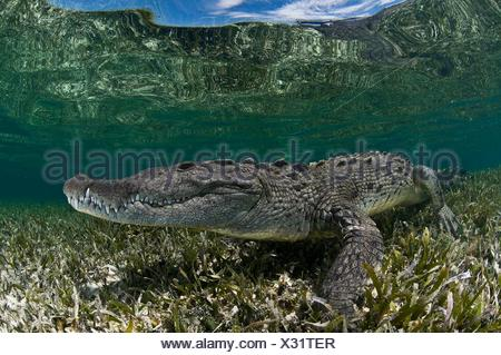 Underwater side view of crocodile on seagrass in shallow water, Chinchorro Atoll, Quintana Roo, Mexico - Stock Photo