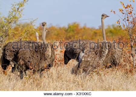 ostrich (Struthio camelus), group standing in savannah, South Africa, Krueger National Park, Letaba Camp - Stock Photo