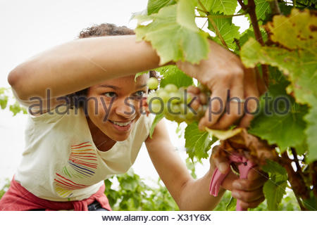A woman picking bunches of grapes in a vineyard. - Stock Photo