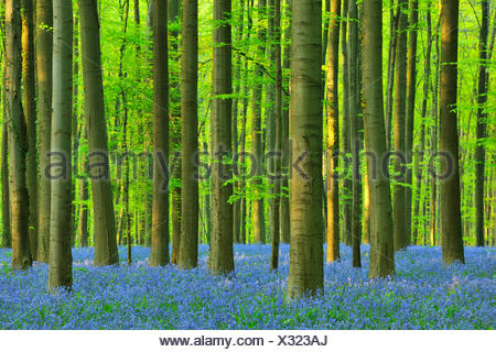 Atlantic bluebell (Hyacinthoides non-scripta, Endymion non-scriptus, Scilla non-scripta), Beech Forest with Bluebells in the Spring, Belgium, Brussels, Vlaams Gewest, Hallerbos - Stock Photo