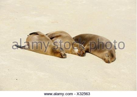 Galapagos Sea Lions (Zalophus wollebaeki), Espanola Island, Galapagos, Ecuador, South America - Stock Photo