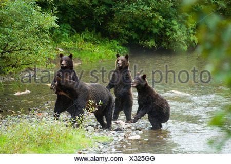 Grizzly Bear (Ursus arctos) Female with 3 yearling Cubs. When bears sense danger they often stand to identify the source. Fish C - Stock Photo