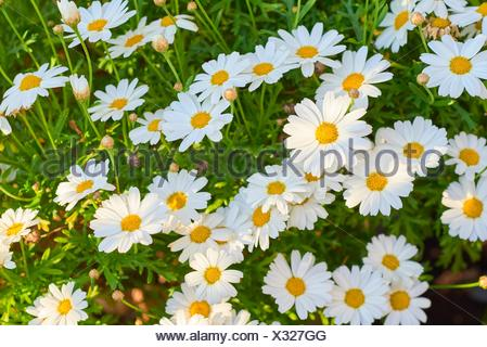 Shasta Daisy Leucanthemum x superbum. - Stock Photo