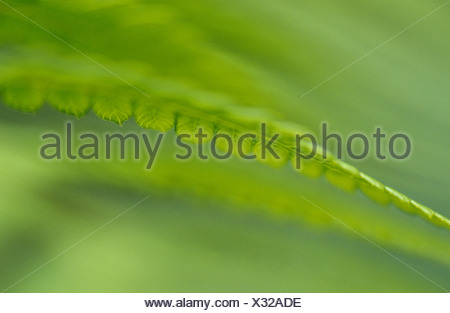 An artistic view of King Fern fronds in a forest understorey. - Stock Photo