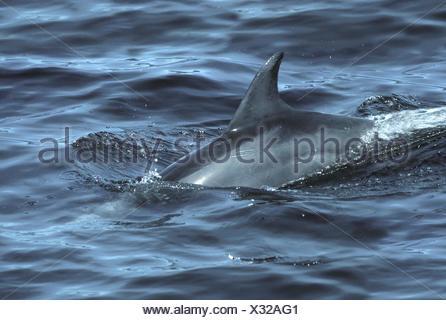 Bottle-nosed Dolphin - Tursiops truncatus - Stock Photo