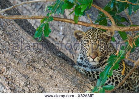 Leopard (Panthera pardus), female, resting in a tree, Chobe National Park, Botswana - Stock Photo