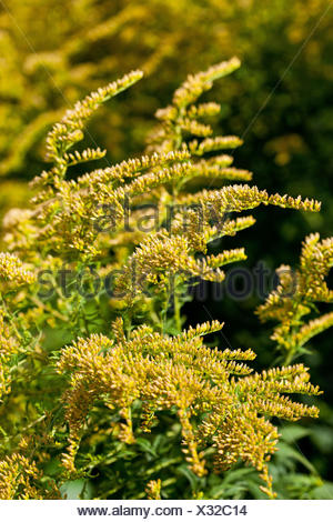 Canada goldenrod (Solidago canadensis), also known as Goldenrod and Golden Sheaf. - Stock Photo