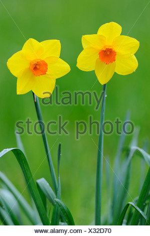 Yellow and orange Narcissus flowers (Narcissus) - Stock Photo