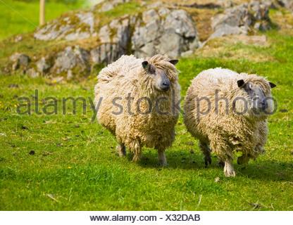 Wensleydale sheep - Stock Photo