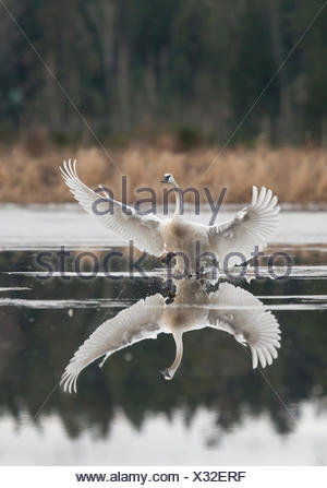 A Trumpeter Swan flare's his wings during a landing on water near Sieffert's Farm in Comox.  Comox The Comox Valley Vancouver - Stock Photo