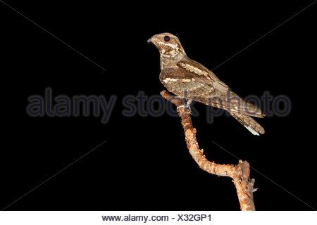 European Nightjar (Caprimulgus europaeus), adult perched on a branch, Campania, Italy - Stock Photo