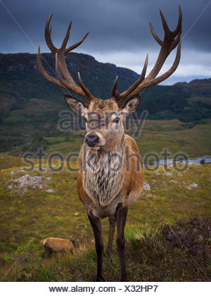 The deer population at Reraig Forest are fed by gamekeepers to spur antler growth. - Stock Photo