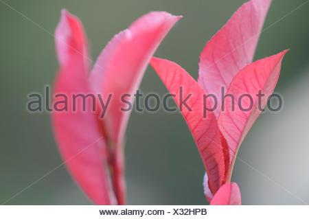 photinia - Stock Photo