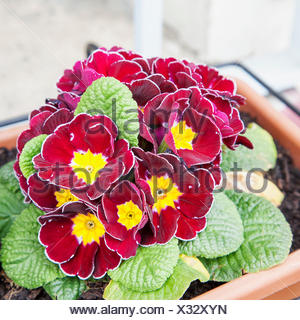 Red violets in bunch - Stock Photo