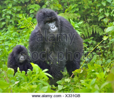 Mountain Gorilla (Gorilla beringei) adult with infant. Rwanda, Africa. Endangered species. - Stock Photo
