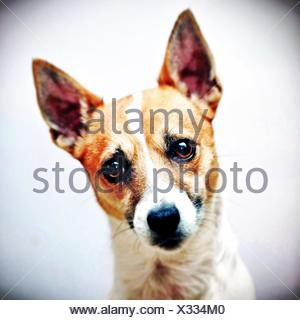 Jack Russell terrier dog head shot - Stock Photo