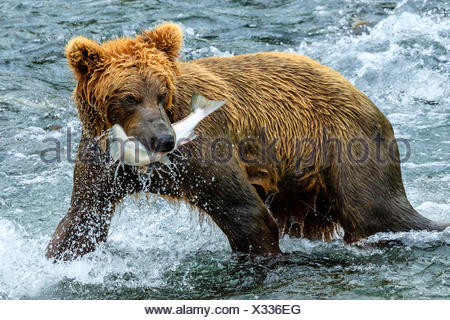 Yearling brown bear, Ursus arctos, catches a sockeye salmon below Brooks Falls. - Stock Photo