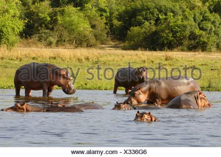 hippopotamus, hippo, Common hippopotamus (Hippopotamus amphibius), herd in river, Uganda - Stock Photo