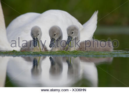 Mute Swan.Cygnus olor.Pair of cygnets with single adult.Bristol,UK. - Stock Photo