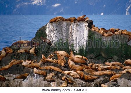 Stellar Sea Lion Rookery at *The Needle* SC Alaska/nPrince William Sound - Stock Photo
