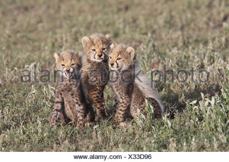 Cheetah Cubs Cheetah Cubs Predator Hunter Speed Fast Fastest Big Cat Young Babies Calling Crying Contact Call Serengeti Kenya - Stock Photo