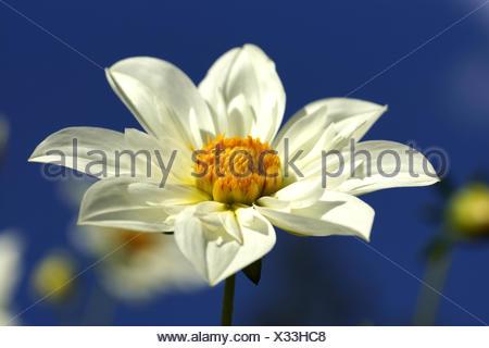 Gardendahlia - Dahlia hortensis - Stock Photo