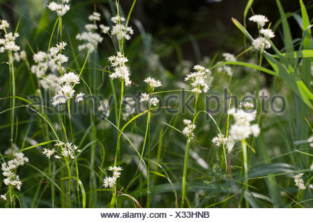Snowy woodrush, Snowy wood sedge, Snowy wood rush (Luzula nivea), blooming, Germany - Stock Photo
