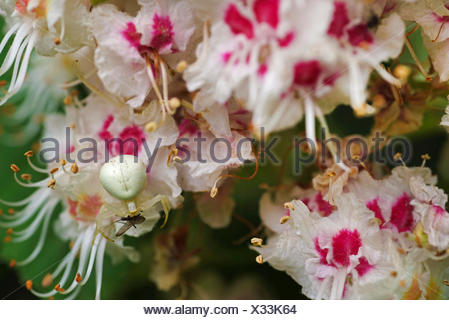 common horse chestnut (Aesculus hippocastanum), crab spider on chestnut flowers, Germany, Bavaria, Oberbayern-Murnauer Moos - Stock Photo