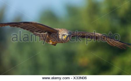 Black kite (Milvus migrans) in flight, Campanarios de Azaba Biological Reserve, a rewilding Europe area, Salamanca, Castilla y Leon, Spain - Stock Photo