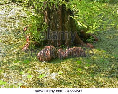 baldcypress (Taxodium distichum), root knees - Stock Photo