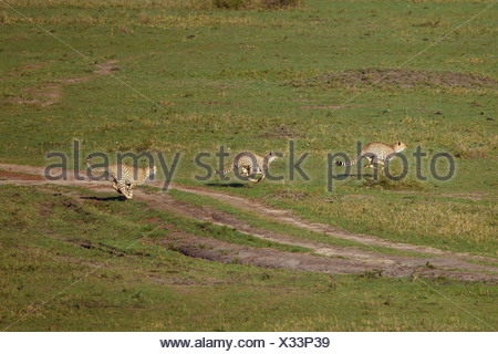 Three running Cheetahs (Acinonyx jubatus) hunting in a group - Stock Photo