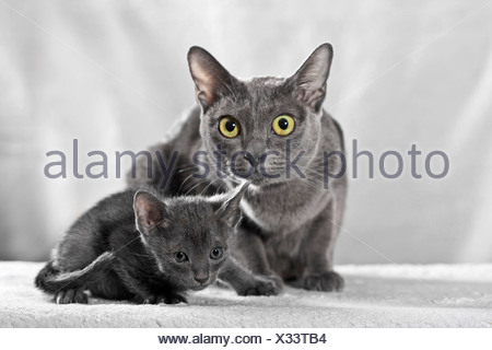 Korat cat with kitten, 5 weeks - Stock Photo