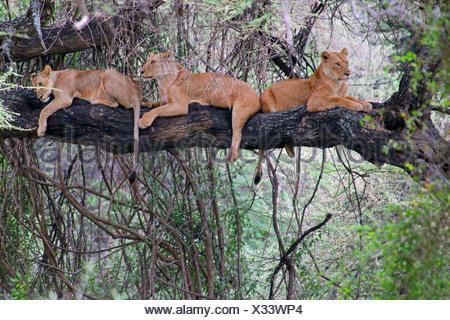 lion (Panthera leo), three lions lying together on a tree, Tanzania, Lake Manyara National Park - Stock Photo