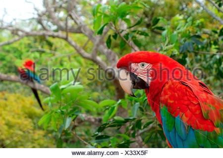 Red-and-green macaw (Ara chloroptera), Buraco das Araras, Jardim, Matto Grosso do Sul, Brazil - Stock Photo