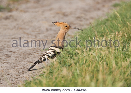 Hoopoe (Upupa epops) searching for food - Stock Photo