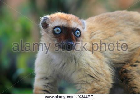 Sclater's Maki, Blue-eyed Lemur (Eulemur flavifrons, Eulemur macaco flavifrons, Lemur macaco flavifrons), closeup - Stock Photo