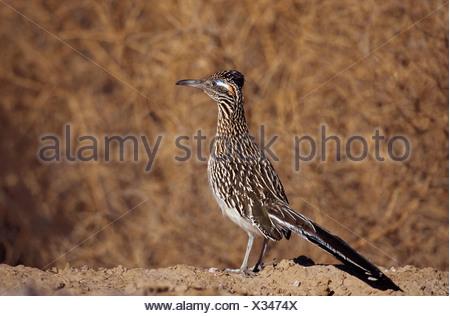 lesser Roadrunner / Geococcyx velox - Stock Photo